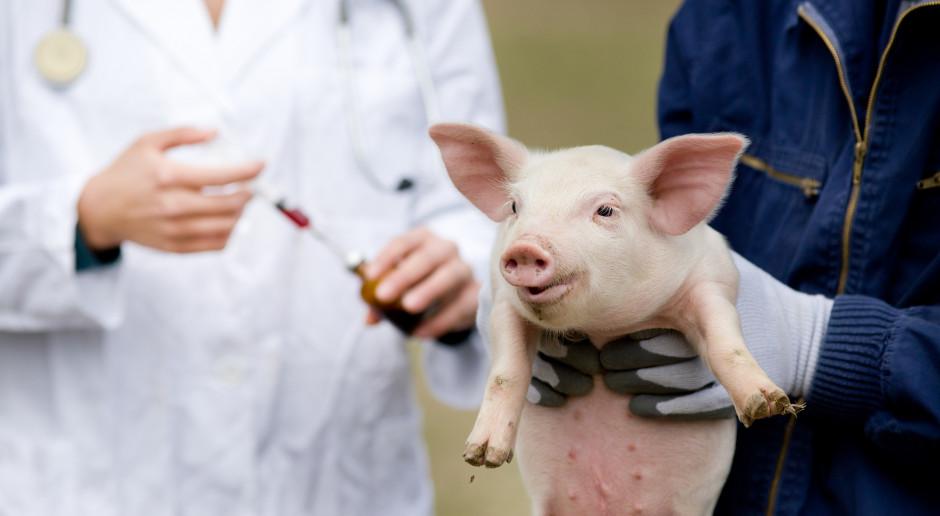 Doczekaliśmy się skutecznej szczepionki na ASF?