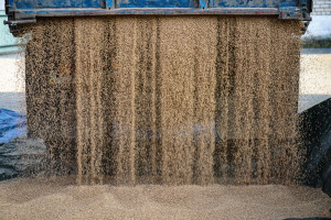 Notowania pszenicy na MATIF coraz wyższe
