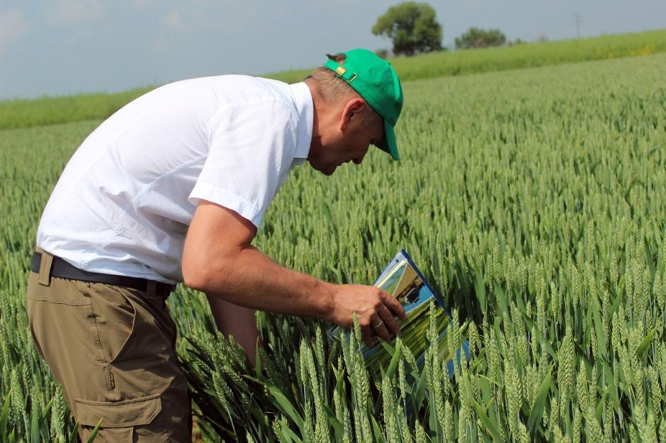 Na polach doświadczalnych Nufarm przetestowano nowy fungicyd Soleil 274 EC, w każdym z 3 terminów zabiegów fungicydowych. Fot A.Kobus