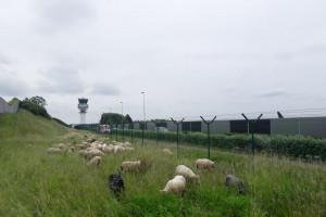 """Belgia: Lotnisko """"zatrudniło"""" owce do koszenia trawy"""