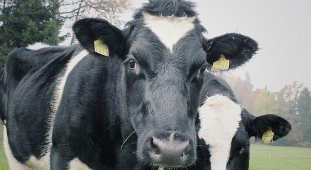 Wolne krowy ocalone, ale czeka je kwarantanna