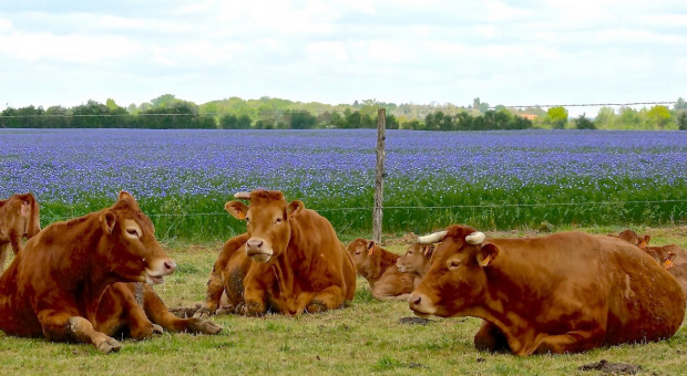 Prezes PZHiPBM: Nie ma problemu ze sprzedażą bydła czystych ras mięsnych