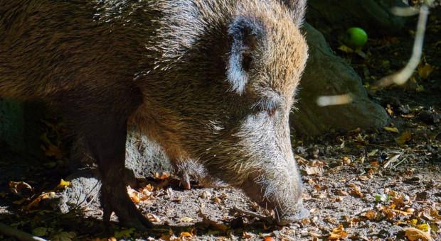 35 nowych przypadków afrykańskiego pomoru świń