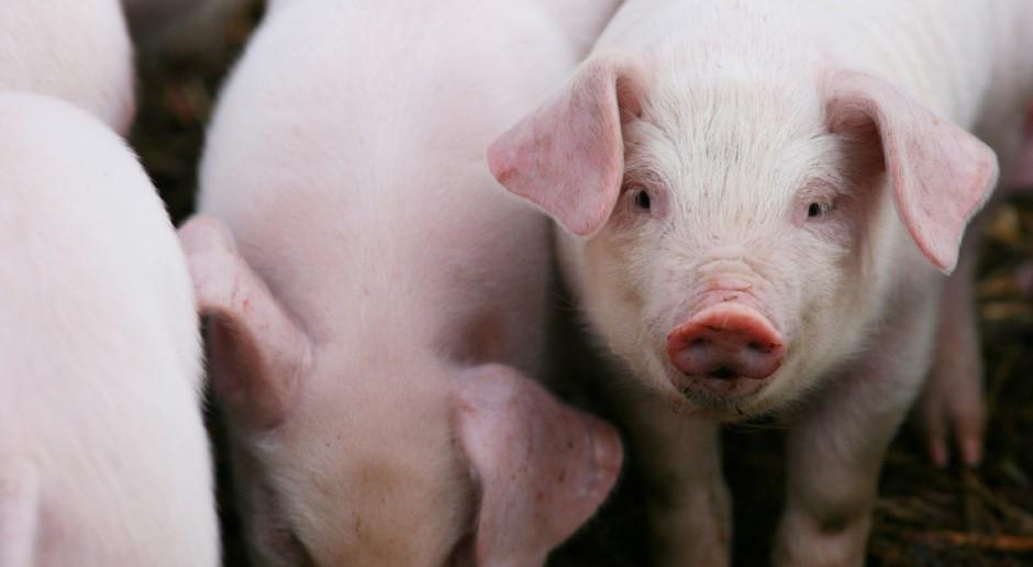 Rosną unijne ceny świń rzeźnych