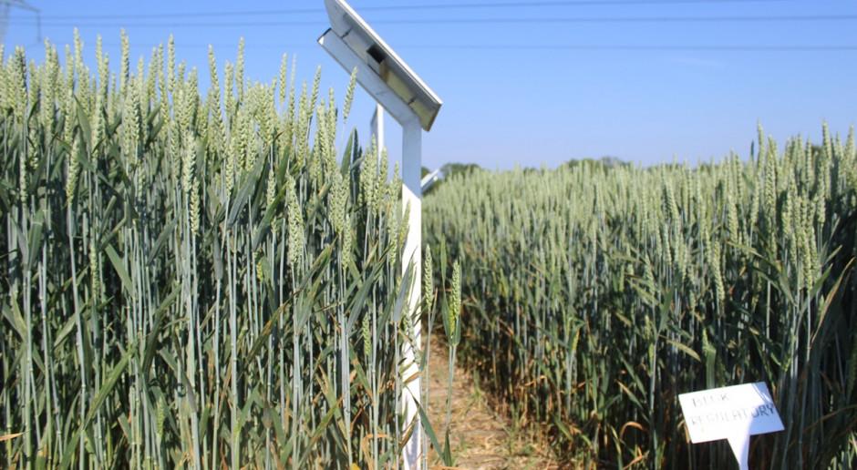 Efekty skracania pszenicy ozimej preparatem Moddus Flexi na tle kontroli (poletko po lewej stronie) Fot.A. Kobus