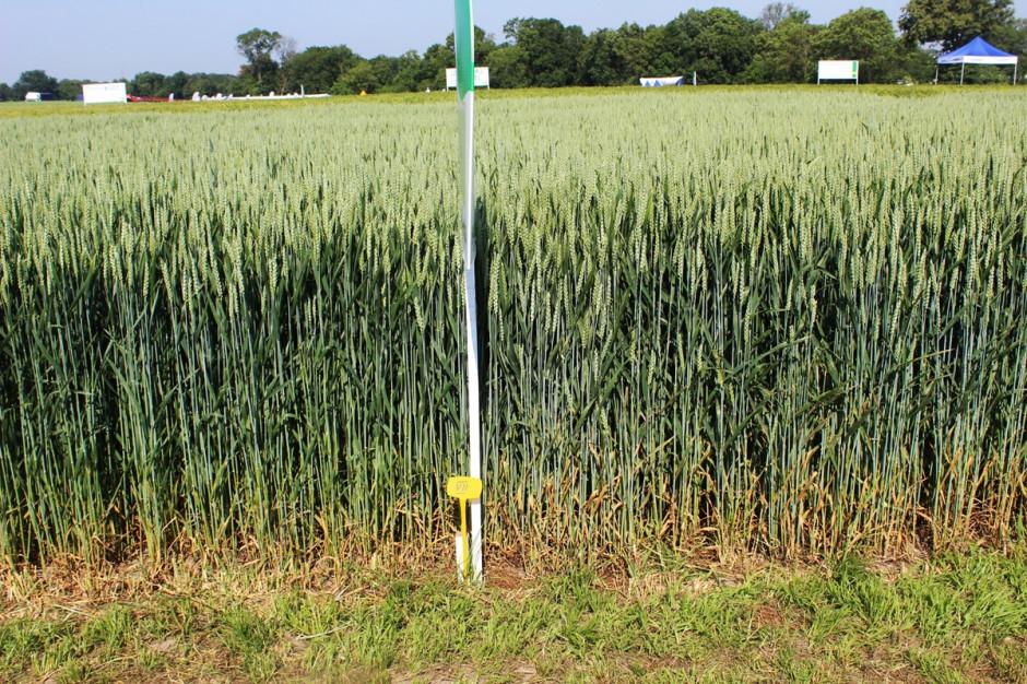 Preparat Elatus Era Syngenta szczególnie poleca do zabiegu T2 w zbożach, do ochrony przed chorobami liści, w tym najważniejszego liścia flgowego (po lewej stronie, bardziej zielone poletko po zastosowaniu preparatu) Fot. A. Kobus