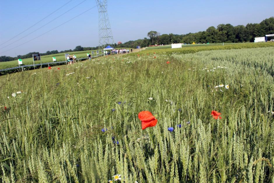 Nowy pakiet herbicydowy Avoxa Pak jest szczególnie polecany dla rolników, u których potwierdzono wysoką odporność miotły zbożowej na herbicydy z grupy ALS lub ACC Fot. A. Kobus