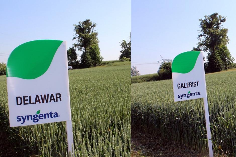 Delawar i Galerist, dwie szczególnie polecane przez eskpertów Syngenta odmiany pszenicy ozimej Fot. A Kobus