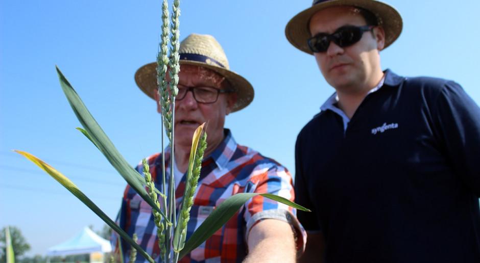 Prawdopodobnie objawy żótej karłowatości jęczmienia (BYDV) w pszenicy to następstwo żerowania jesienią mszyc na roślinach Fot. A. Kobus