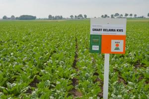 Demo Farma KWS Wybranowo. Odmiana buraka do uprawy w systemie Conviso Smart; Fot. Katarzyna Szulc