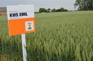 Demo Farma KWS Wybranowo. KWS Emil to odmiana chlebowa (grupa B) o dobrej plenności i wysokiej zimotrwałości; Fot. Katarzyna Szulc