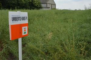 Demo Farma KWS Wybranowo. Odmiana mieszańcowa rzepaku Umberto KWS; Fot. Katarzyna Szulc