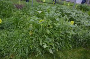 W tunelu znajdującym się na terenie farmy La Conillais prowadzone są badania nad różnymi rodzajami roślin poplonowych i ich mieszanek. Tak wygląda gryka (z lewej) i facelia (z prawej) w czystym siewie, fot. M. Wołosowicz