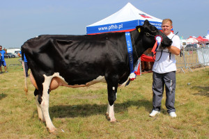 Czempion w kategorii krowy rasy PHF w I laktacji
