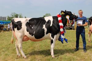 Czempion w kategorii krowy rasy PHF w III laktacji i dalszej