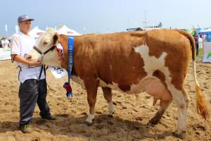 Czempion w kategorii krowy rasy Simentalskiej