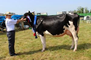 Czempion w kategorii krowy rasy PHF w II laktacji