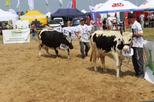 Prezentacja krów rasy Białogrzbietej