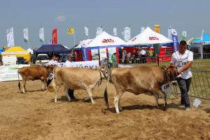 Prezentacja krów rasy Jersey