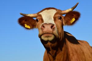 Rolnictwo ograniczy emisję amoniaku
