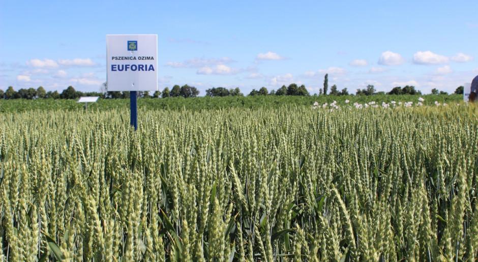Euforia to jedna z najmłodszych naszych odmian pszenicy ozimej. Odmiana miała spektakularny debiut na rynku Fot. A. Kobus