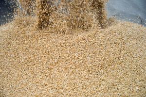 Jak walczyć z problemem mikotoksyn w ziarnie zbóż?