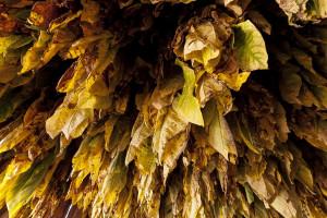 Niedługo upływa termin składania informacji o nabyciu surowca tytoniowego