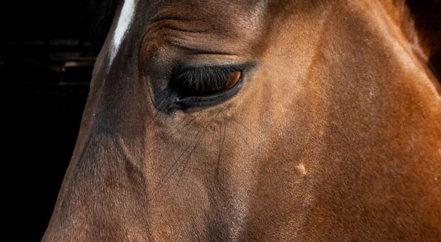 Ekspert: Herpeswirus u koni nie ma nic wspólnego z COVID-19