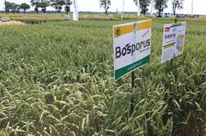 BOSPORUS (A/B) cechować ma się wysokim plonem, dobrą jakością i wysoką zdrowotnością