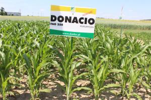 Nowością w prezentacji polowej Danko są  odmiany kukurydzy. Na zdjęciu odmiana DONACIO