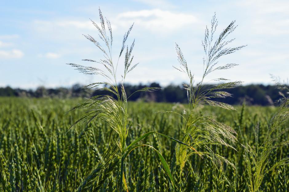 Osobniki miotły zbożowej, które przetrwały zabiegi herbicydowe wykonane jesienią i wiosną fot. HJ