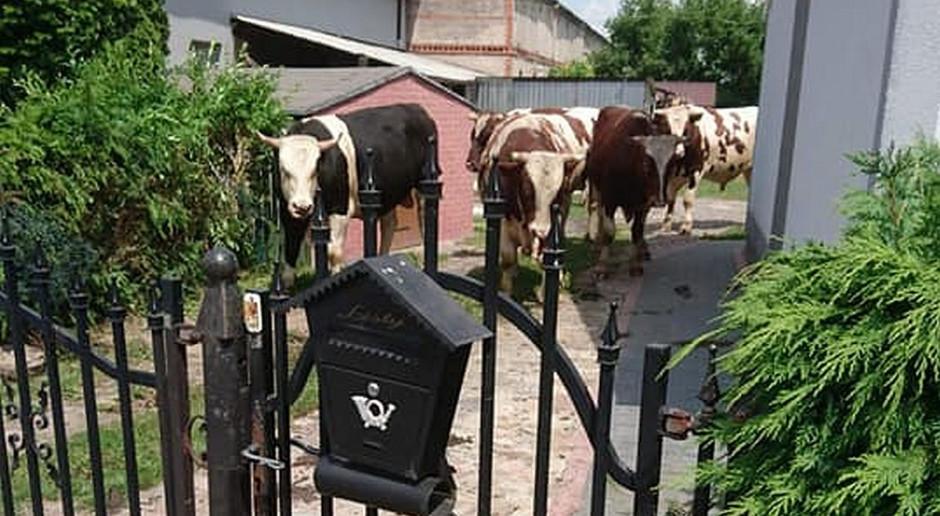 Strażacy i policjanci ścigali byki, które stratowały kilka posesji