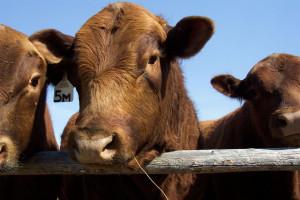 Nowa Zelandia przed ewentualnym zakazem wywozu żywego bydła