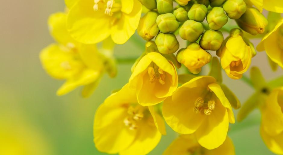 Komisja bez poprawek do ustawy tworzącej Fundusz Promocji Roślin Oleistych