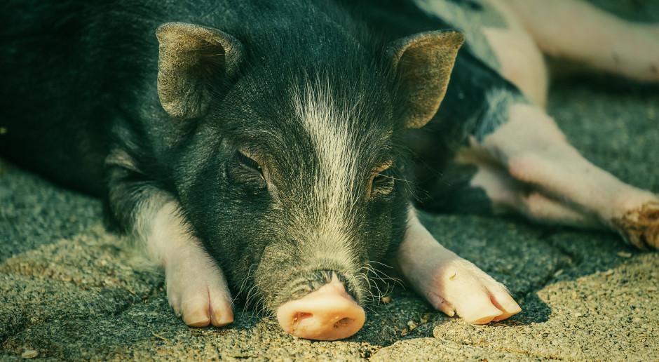 Świnie lubią ludzi podobnie jak psy, ale problemy rozwiązują same