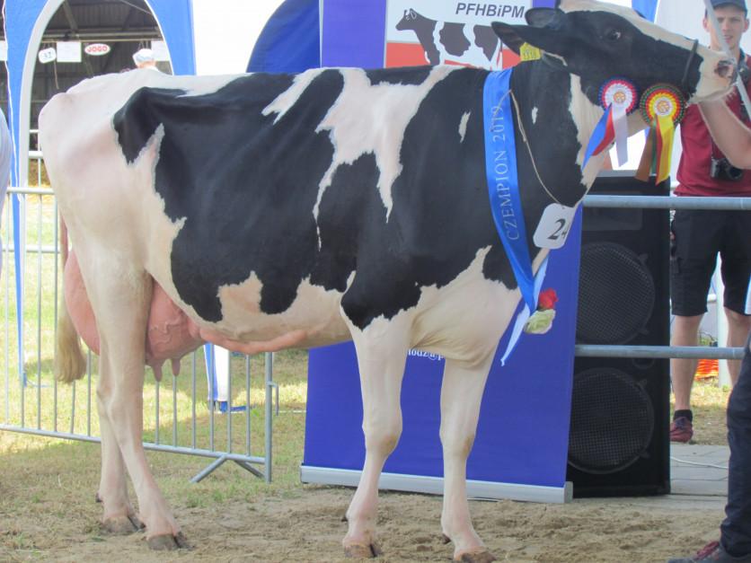 Prima 54, czempion w kategorii krów w 2 laktacji wyhodowana w OHZ Dębołęka