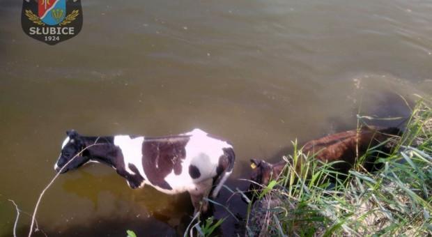 Strażacy wyciągali byki z rzeki, a cielaka z szamba