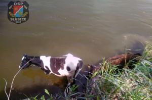 Pod trzema byczkami zarwała się skarpa na brzegu Wisły, zdjęcia: OSP Słubice