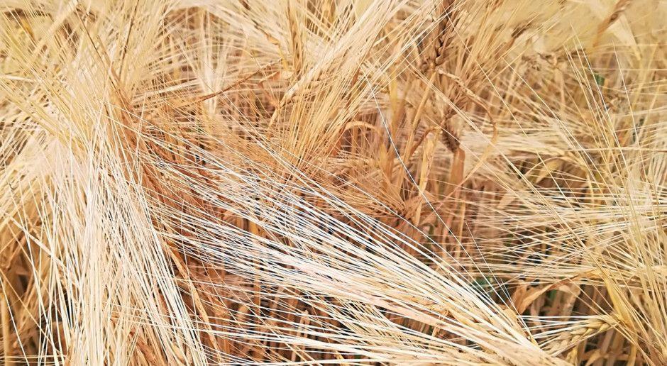 Kombajny na polach – rolnicy już koszą jęczmień – dużo pośladu