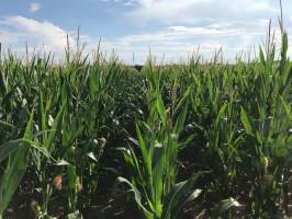 Farmer osiąga plon około 8 t/ha w przypadku kukurydzy, fot. T. Kuchta