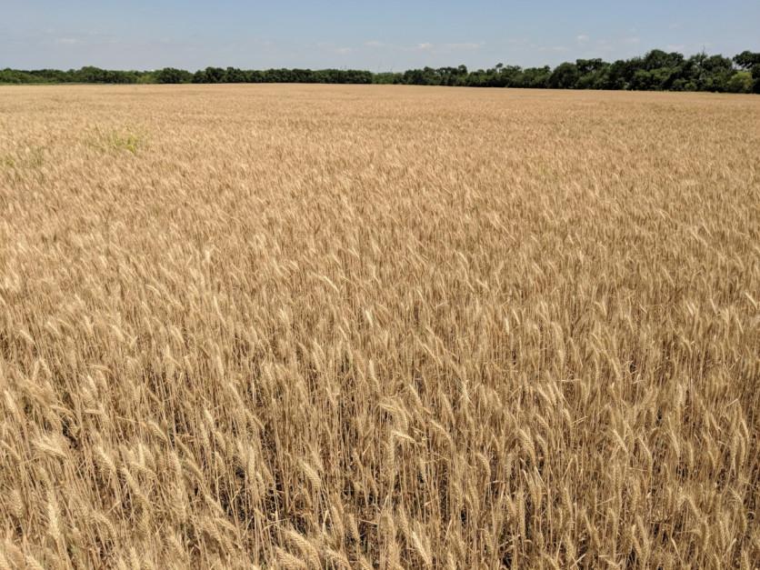 W tym roku plony zapowiadają się zdecydowanie na ponad przeciętnym poziomie, fot. T. Kuchta