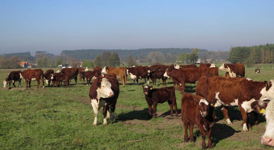 Umowa Mercosur będzie miała opłakane skutki dla europejskiego sektora wołowiny