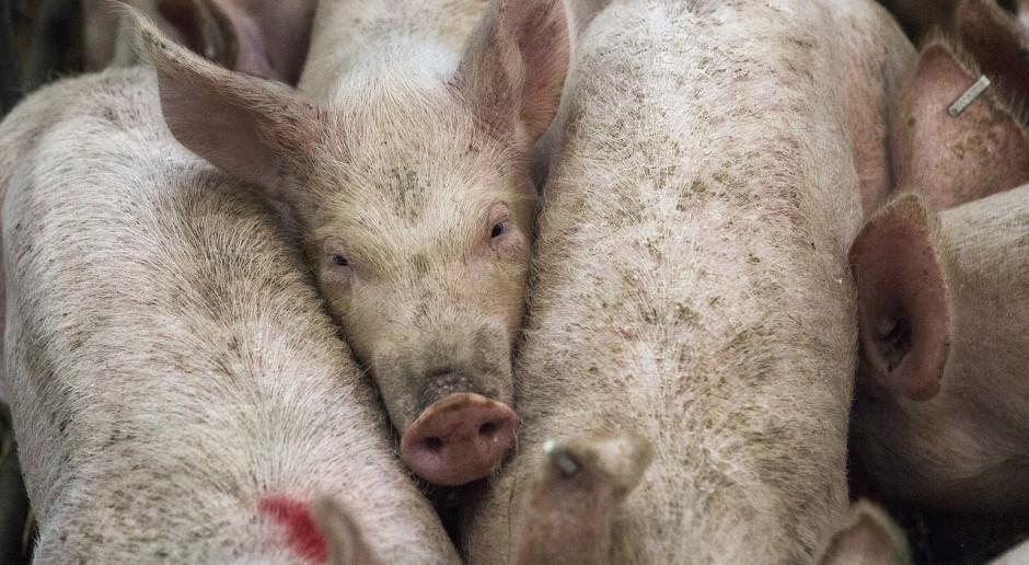 Niemcy: Prawie 8 procent mniej świń od 2014 roku
