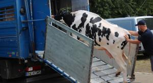 Leasing krów? Nowa forma pozyskiwania zwierząt