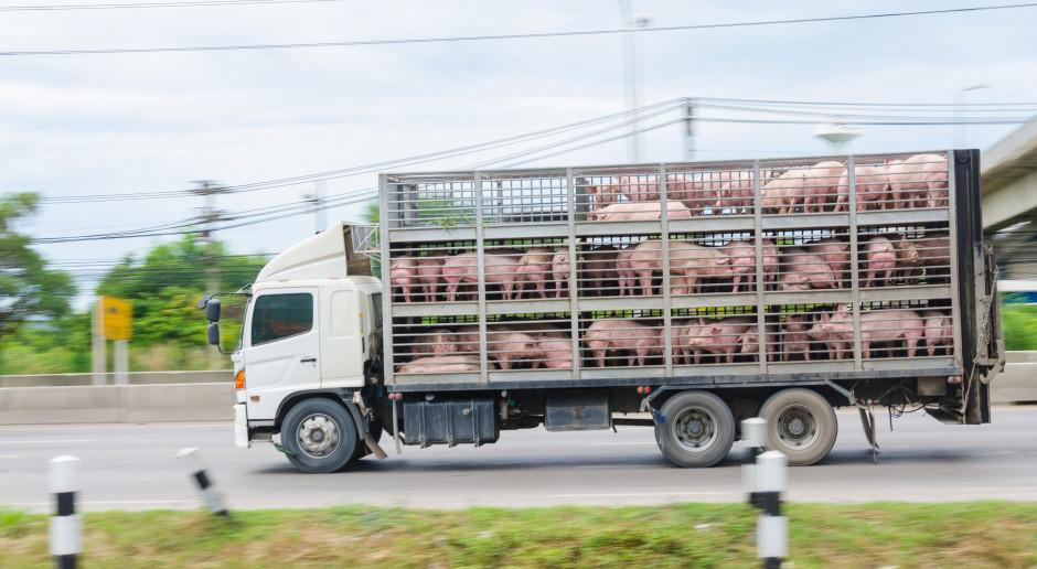 Coraz więcej świńskich megafarm