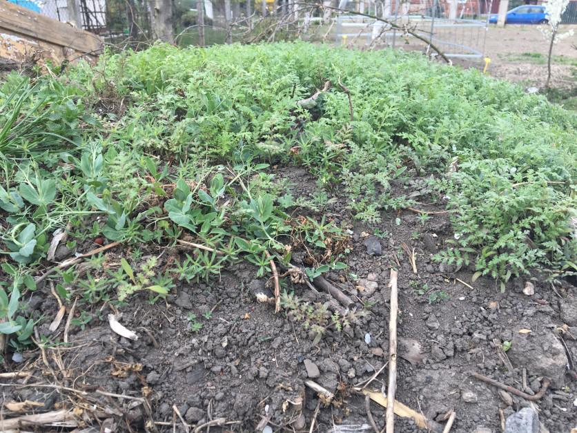 Dłużej przechowywany obornik czy kompost powinien być obsiewany gatunkami małoinwazyjnymi (peluszka, facelia itp.), które nawet jeśli wydadzą nasiona, nie sprawią większych trudności. Ogranicza to straty składników pokarmowych. O wiele większą zaletą takiego postępowania jest obecność wydzielin korzeniowych z nowo posianych gatunków, coprzyśpiesza rozkład obornika.