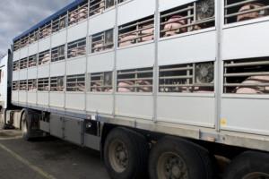 Francja: Zakaz transportu zwierząt z powodu upałów