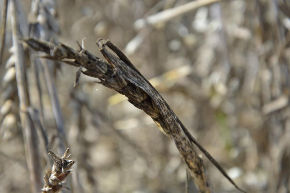 Grzyby powodujące czerń zbóż stają się problemem, gdy przechodzą z liści i plew na ziarno, obniżając ich wartość technologiczną