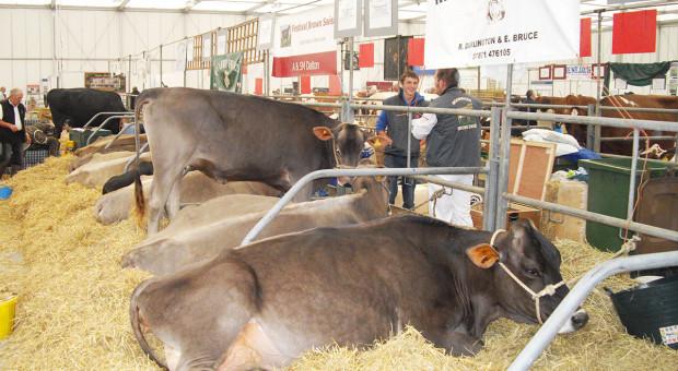 Bydło mleczne rasy szwajcarska brunatna