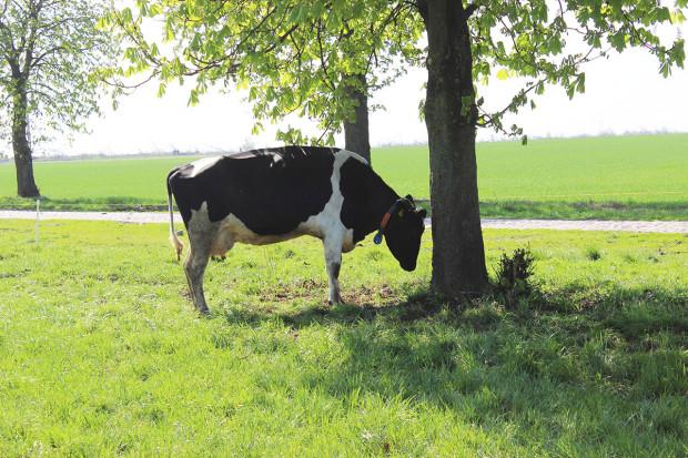 Stres cieplny u krów mlecznych zabiera złotówki